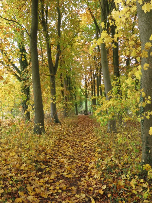 autumn colours on a tree lined path