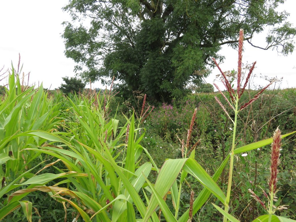corn and brambles