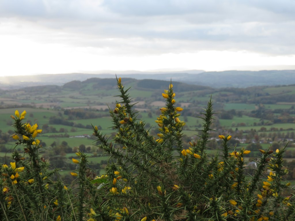 gorse bushes and distant hills