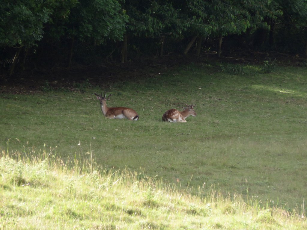 two deer on Bredon Hill