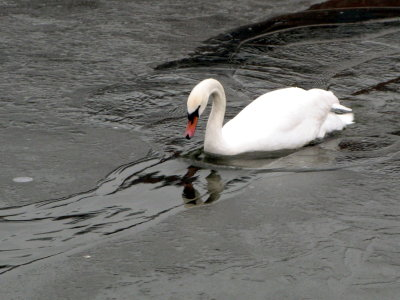 a swan trying to swim through ice