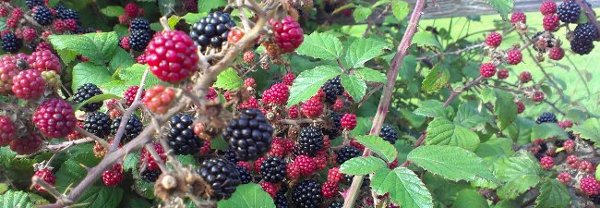 hedgerow full of berries